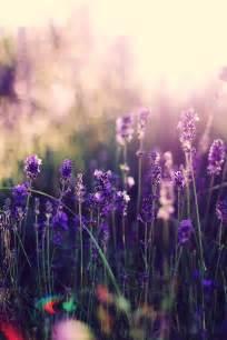 25 Best Ideas About Lavender Flowers On Pinterest
