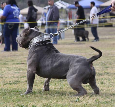 worlds biggest pitbull
