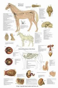 Horses  Anatomy And Horse Anatomy On Pinterest