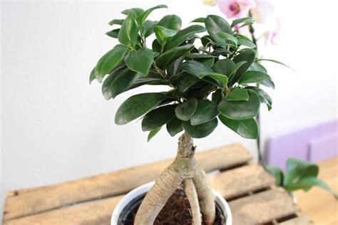 bonsai äste schneiden bonsai schneiden der form blatt und wurzelschnitt