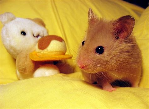 bred si鑒e social 24 best images about hamster pics on awesome things strudel and hamsters