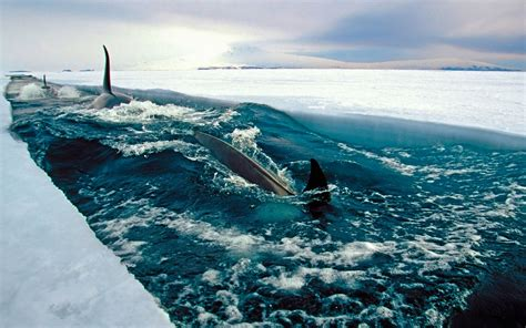 Here you can find the best orca whale wallpapers uploaded by our community. Orca Wallpaper ·① WallpaperTag