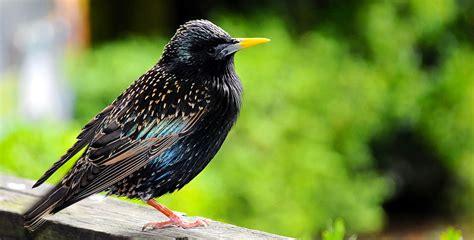 wild about birds backyard birds european starling