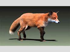 Red fox run cycle animation YouTube