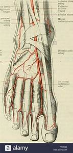 Medial Malleolus Anatomy
