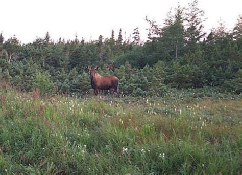 Picture Of A Moose In Newfoundland And La Dor