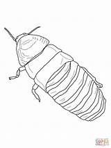 Cockroach Hissing Coloring Madagascar Drawing Pages Clipart Printable Drawings Outline Giant Template Supercoloring Clipground Sketch Paper Sheets Getdrawings Categories sketch template