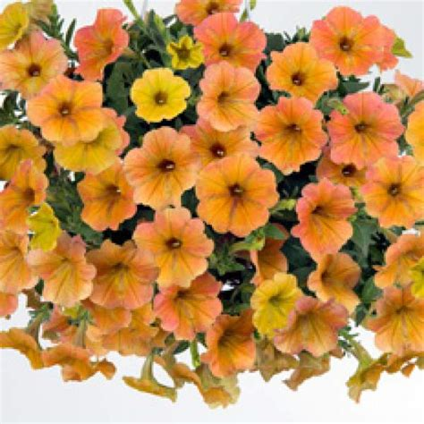 Wholesale Petunia Cascadia Indian Summer Rooted Plug Liners