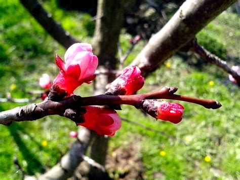 Free picture: young, pink, apple, buds
