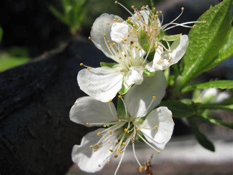 fiori di prugna fotos piante fiori di prugna fiori di prugna 10