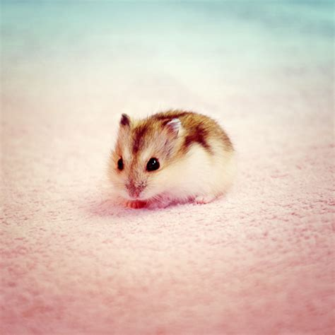 hamster babies baby hamster by shiiranni on deviantart