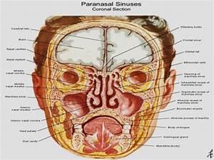 Nasal Cavity Anatomy