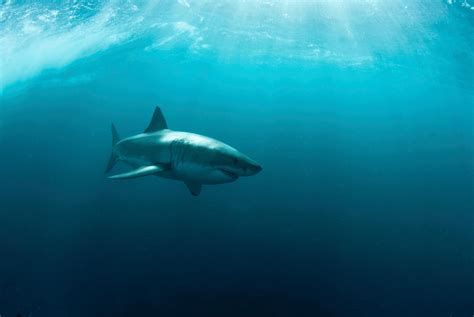 Animated Shark Wallpaper - great white shark wallpaper hd