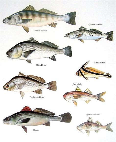 fish print white seabass black drum spotted seatrout red
