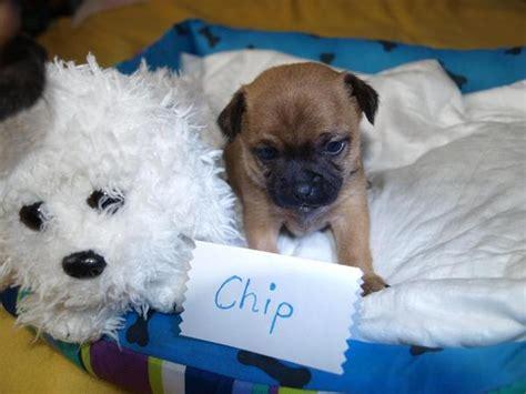 Hybrid Hunde Welpen Kaufen