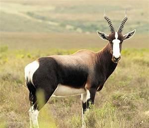 Afrikan Antilope : top 5 african antelope amo ~ A.2002-acura-tl-radio.info Haus und Dekorationen