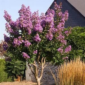 Taille Du Lilas Des Indes : lilas des indes lilac grand sud lagerstroemia indica ~ Nature-et-papiers.com Idées de Décoration