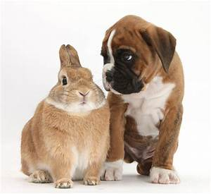 Boxer Puppy And Netherland-cross Rabbit Photograph by Mark