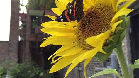 Butterfly N Sunflower