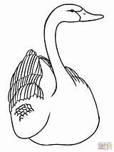 Coloring Swan Swans Printable Drawing Drawings Clipart 39kb 1600px 1200 Categories sketch template