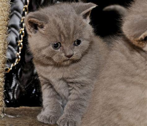 shorthair kittens for sale blue shorthair kittens for sale east