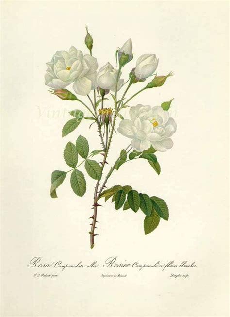 Gardenia Drawing by Gardenia Botanical Drawing Search T A T T O O
