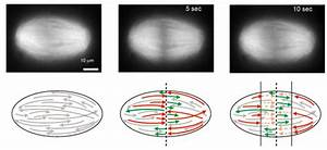 Slicing Mitotic Spindle With Lasers  Nanosurgeons Unravel