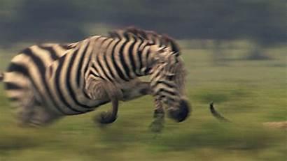 Zebra Cheetah Gifs Motion Animals Animal Wild
