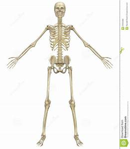 Human Skeleton Anatomy Front View Royalty Free Stock