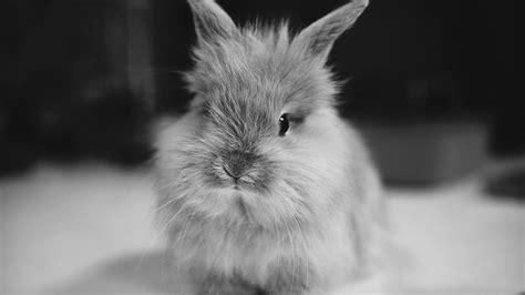 cute black bunny hd wallpaper  desktop background