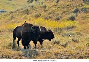 American Yellowstone Bison Herd