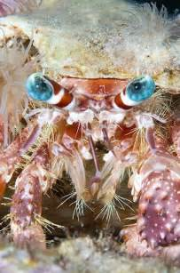 Hermit Crab with Blue Eyes