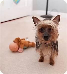 Annebelle   Adopted Dog   Verona, NJ   Australian Terrier