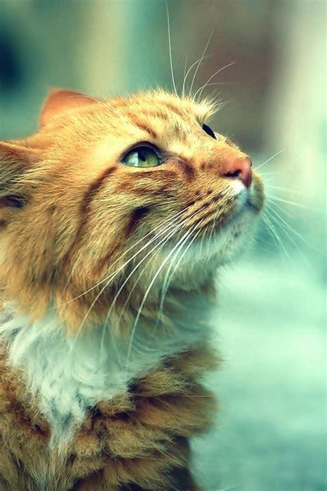 640x960 Cute Orange Cat Desktop Pc And Mac Wallpaper