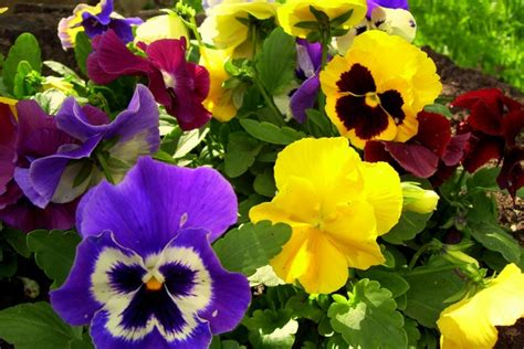 Mazais augu ABC: Atraitnītes - Sievietēm - Māmiņu klubs
