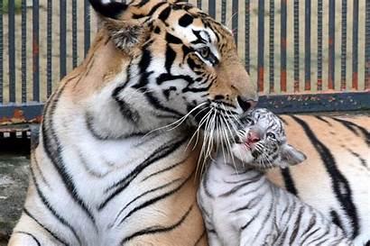 Tiger Albino Cub Mother Carolina Animals South