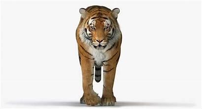 Tiger Animation Animated Turbosquid Lion Statue