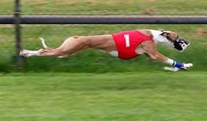 File:Greyhound Racing amk.jpg