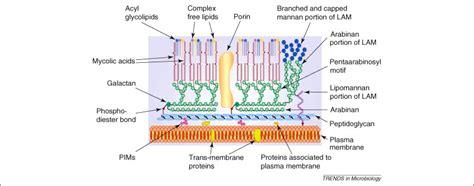 mycobacterium abscessus   player   mycobacterial