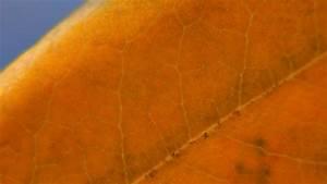 Portugiesischer Lorbeer Gelbe Blätter : lorbeer hat gelbe bl tter woher kommt 39 s ~ Eleganceandgraceweddings.com Haus und Dekorationen