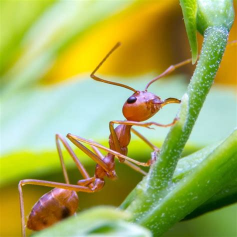 rid  fire ants planet natural