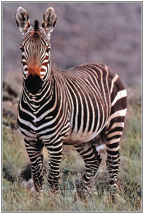cape mountain zebra  photo  midlands west trekearth