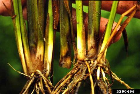 bacteria wilt  soft rot dickeya chrysanthemi  rice
