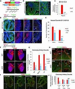 Coronary Artery Development Is Impaired In Rspo3
