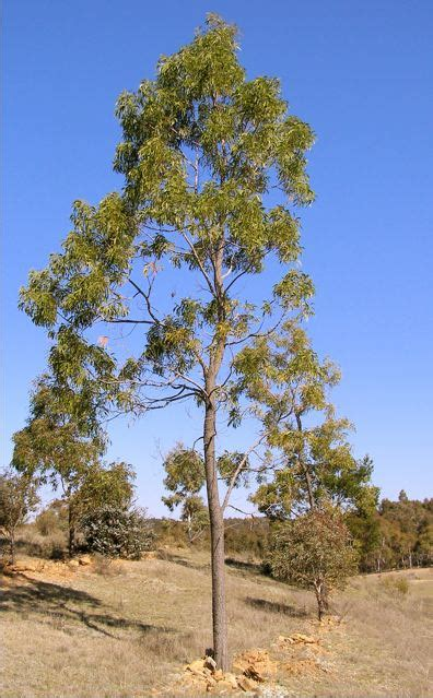 acacia implexa wikipedia