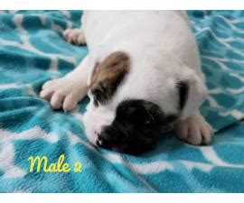 french bulldog puppies  sale top quality lines
