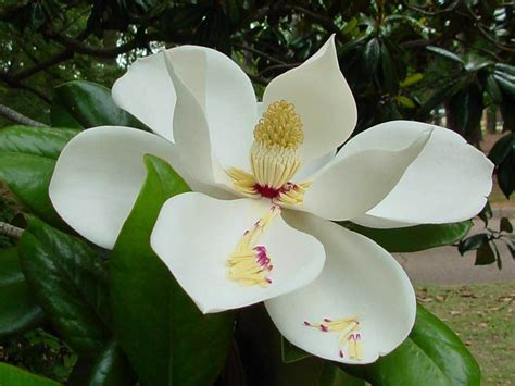 Southern Images Wallpapers Southern Magnolia Flower Wallpapers