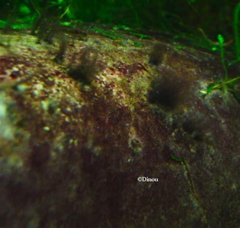 algues brunes aquarium eau douce algues brunes aquarium eau douce 28 images aquarium eau douce algues noires aquarium eau