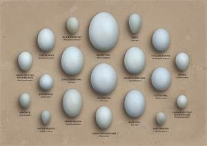Bird Identifier Chart Egg Identification Chart Owls With Images Bird Eggs