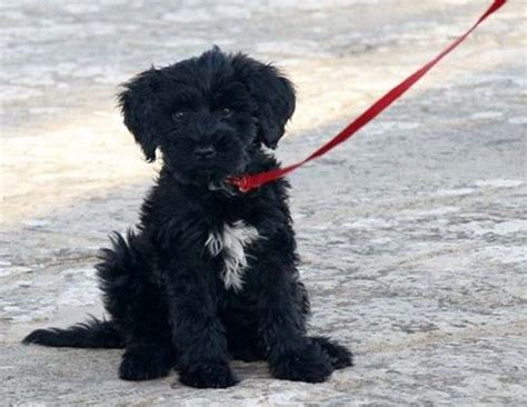 portuguese water non shedding breeds 17 best images about on poodles